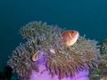 Pink-Skunk-Anemone-Fish