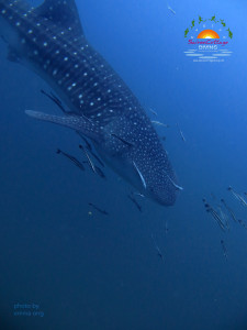 Whaleshark from the side