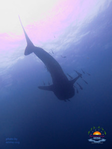 Whaleshark from the bottom