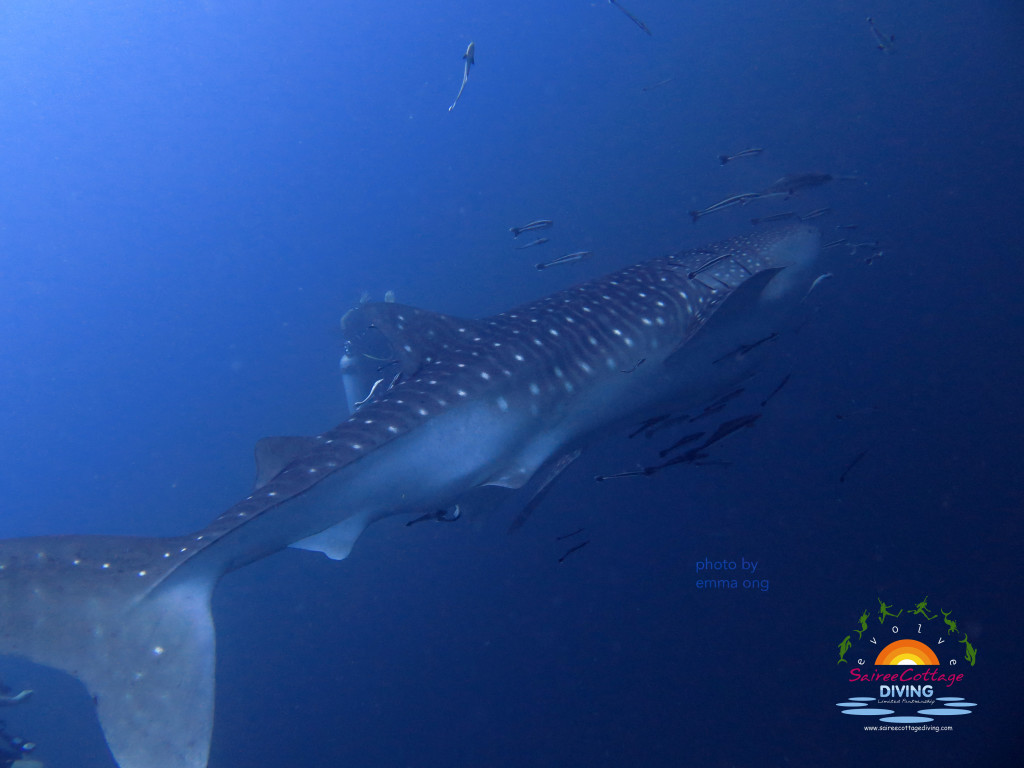 Whaleshark at Southwest Pinnacle