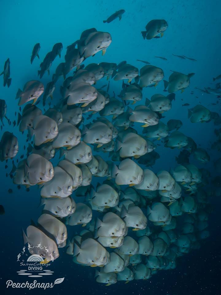 Best Dive Site Koh Tao Batfish
