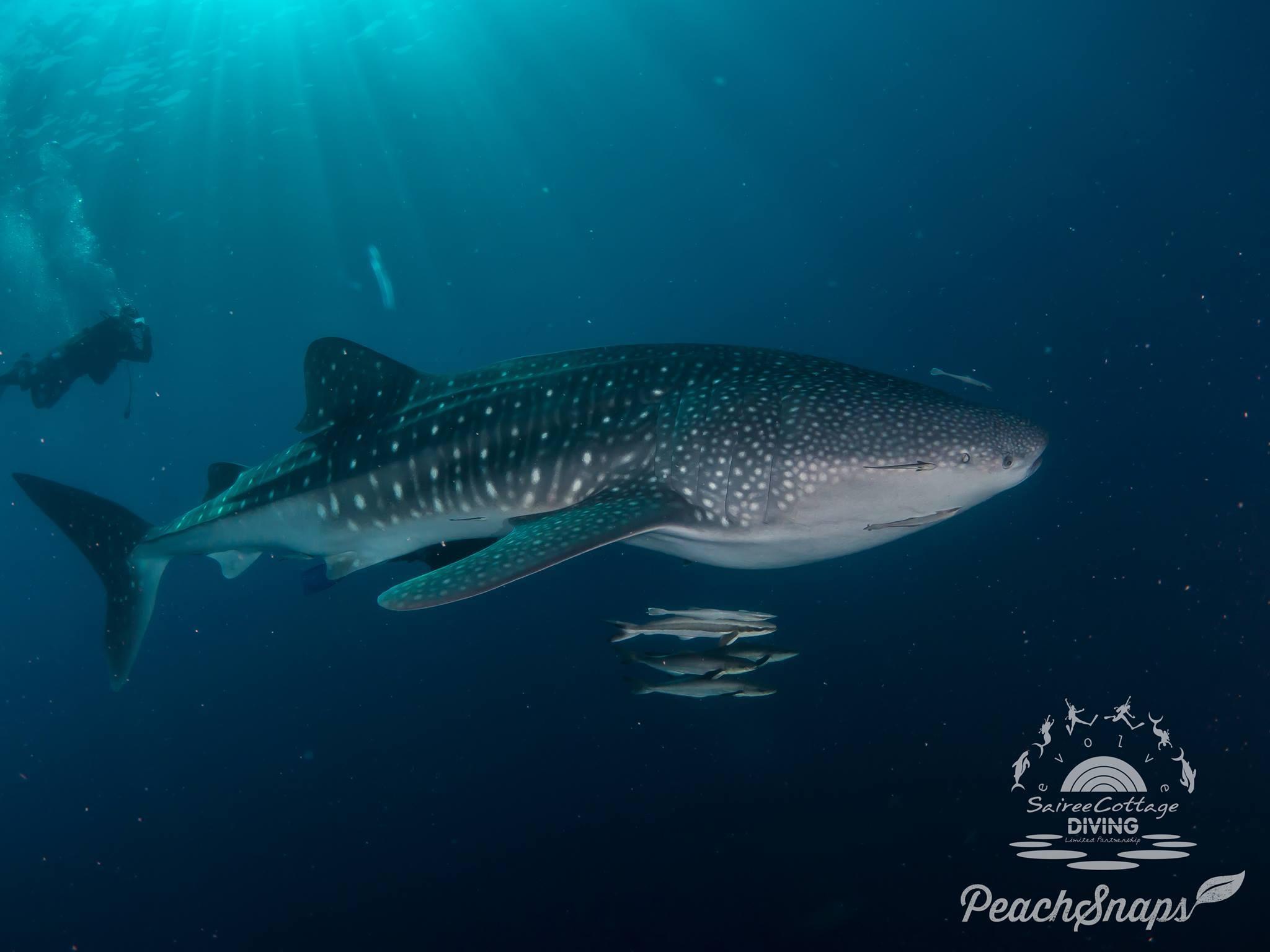 Whaleshark Gulf Of Thailand