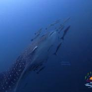Whaleshark at Southwest Pinnacle this Week